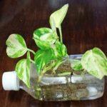 ポトスを水耕栽培 無精者でも楽々できる観葉植物の世話