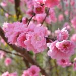 雛祭り 桃の節句のごちそうに菜の花ご飯