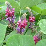 秋の七草の七種とはなに?その特徴や薬効と七種の覚え方
