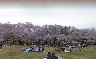 小金井公園花見