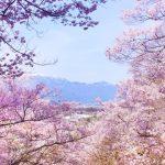 お花見とは?なぜ桜なの?意味や由来 花見の風習いつから?日本だけの文化?