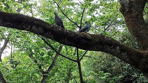 鳩のカップル