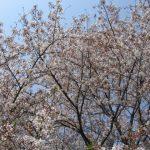 小金井公園のお花見はまだまだ 桜とチューリップのコラボで春の装い